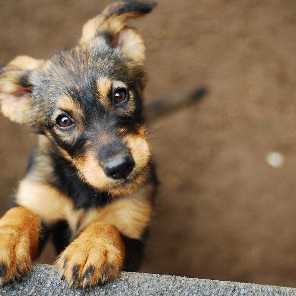 Cute Germain Shepard Puppy
