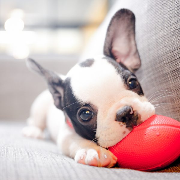 Pug Puppy Chewing on Football