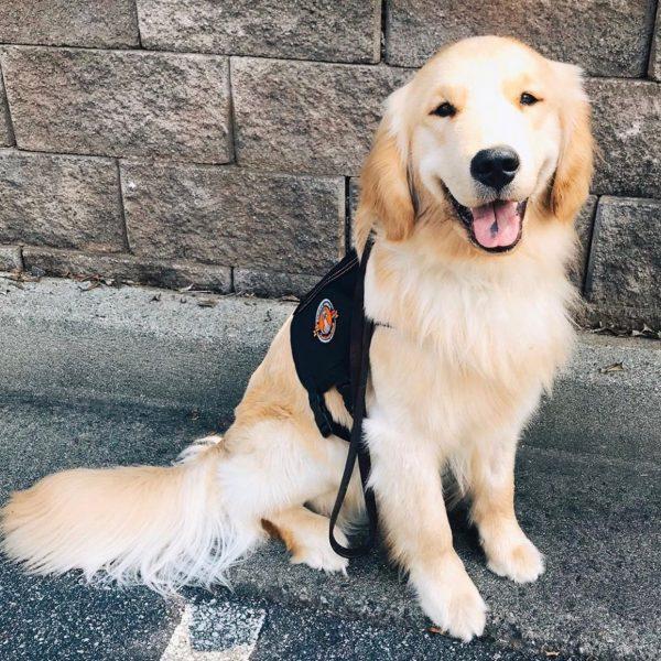 train-service-dog