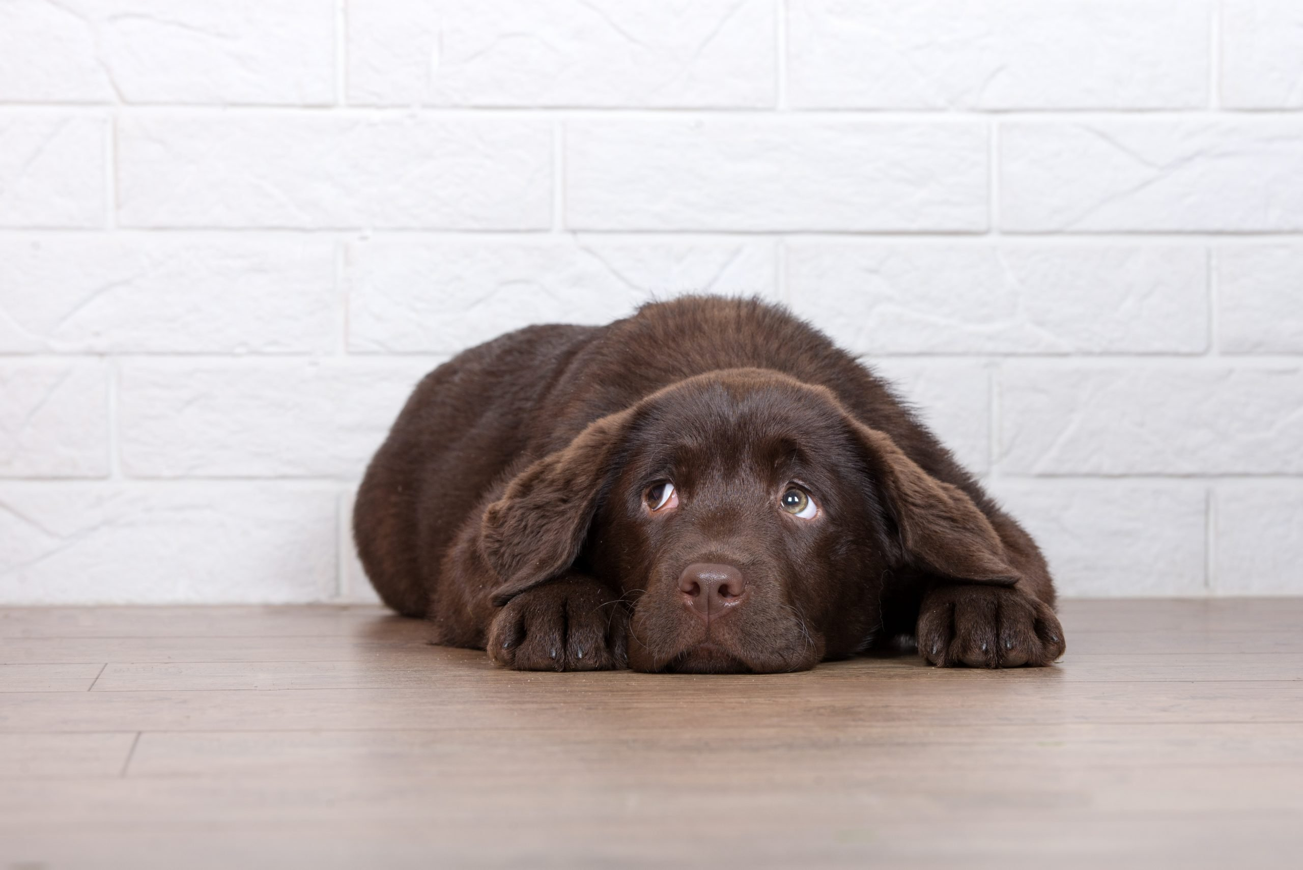 Fear Periods in Dogs